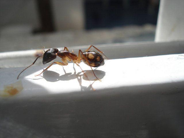 Como acabar com formigas na cozinha